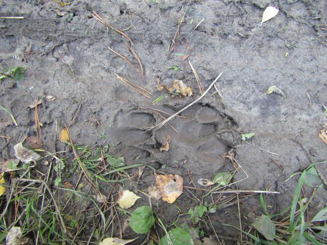 Нередко здесь встречаются следы медведей